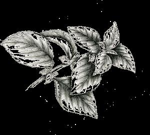 Coleus Plant illustration
