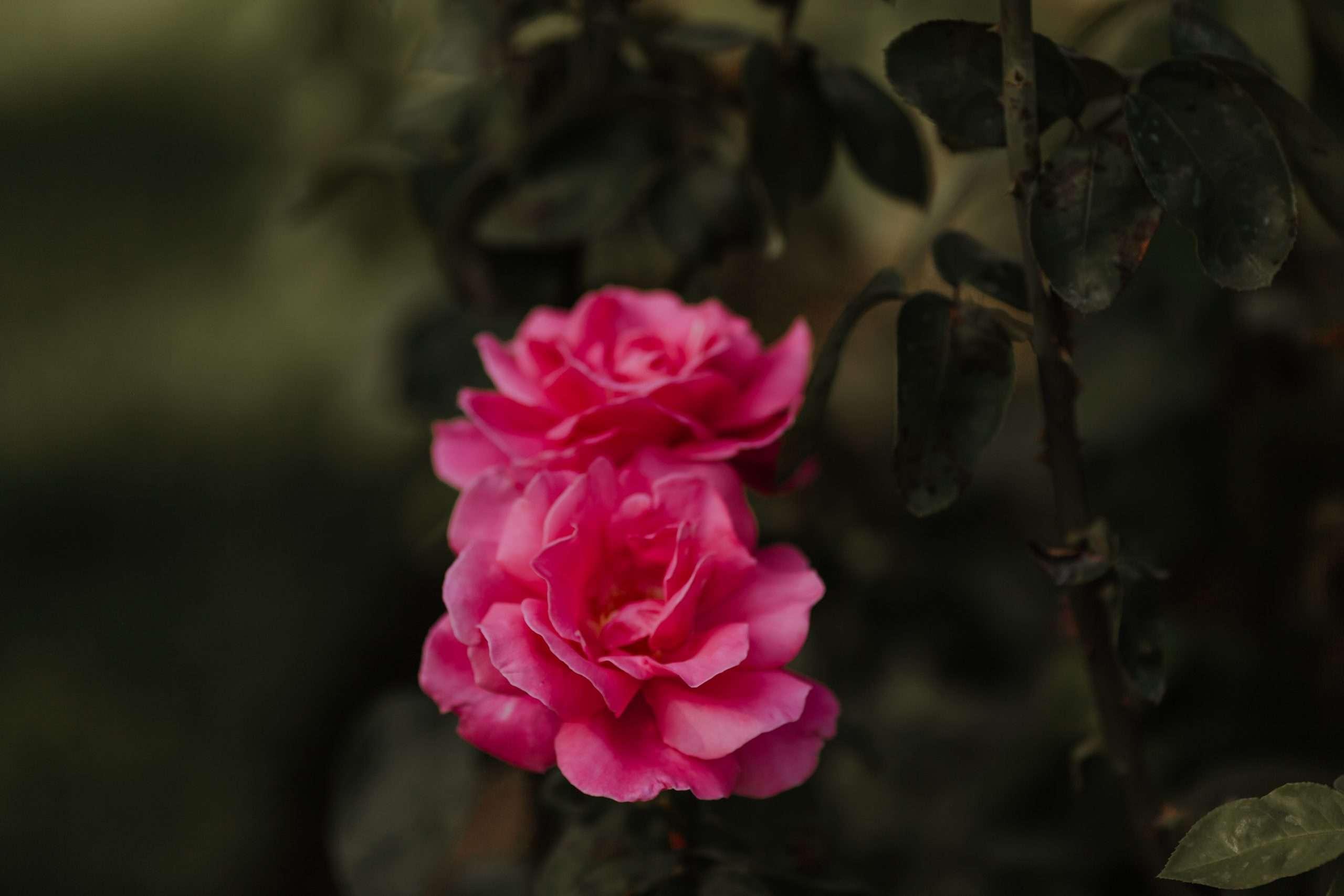 River Wedding Roses